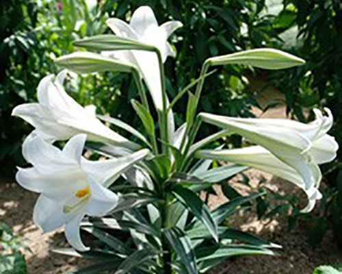 Forced Lilies For Your Indoor And Outdoor Enjoyment Whav