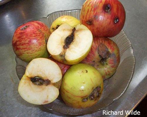 Managing Apple Pests   WHAV