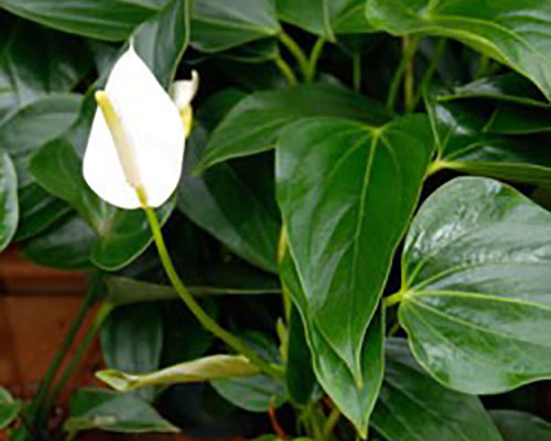Wilted and Yellow Leaves on Peace Lilies | WHAV on wilted rose plant, wilted ivy plant, wilted boston fern plant, wilted daisy plant, wilted pothos plant, wilted poppy plant, wilted aloe vera plant,