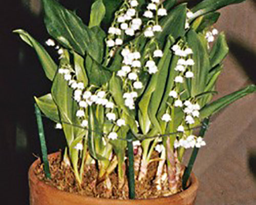 Forcing Blooms from Lily of the Valley | WHAV on house plant fern, house plant orchid, house plant cyclamen, house plant dracaena, house plant azalea, house plant caladium, house plant strawberry, house plant asparagus, house plant sage, house plant vinca, house plant ivy, house plant banana, house plant candy cane, house plant eucalyptus, house plant dogwood, house plant lime, house plant thyme, house plant datura, house plant ylang ylang,